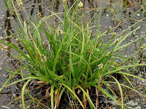 Carex otrubae Carex otrubae
