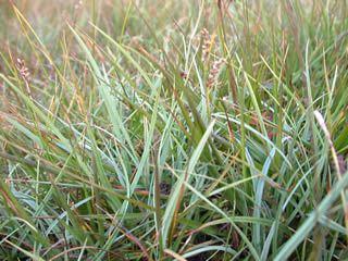 Carex panicea Carex panicea