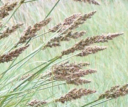 Carex paniculata Carex paniculata