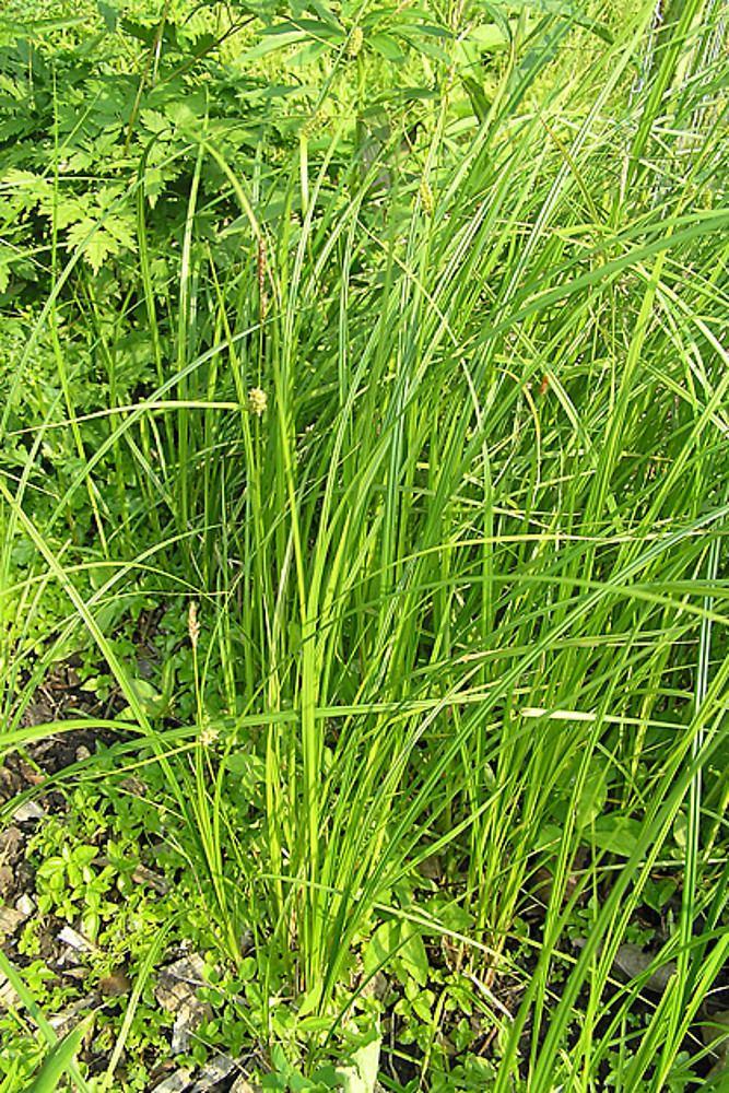 Carex pellita Carex pellita woolly sedge Go Botany