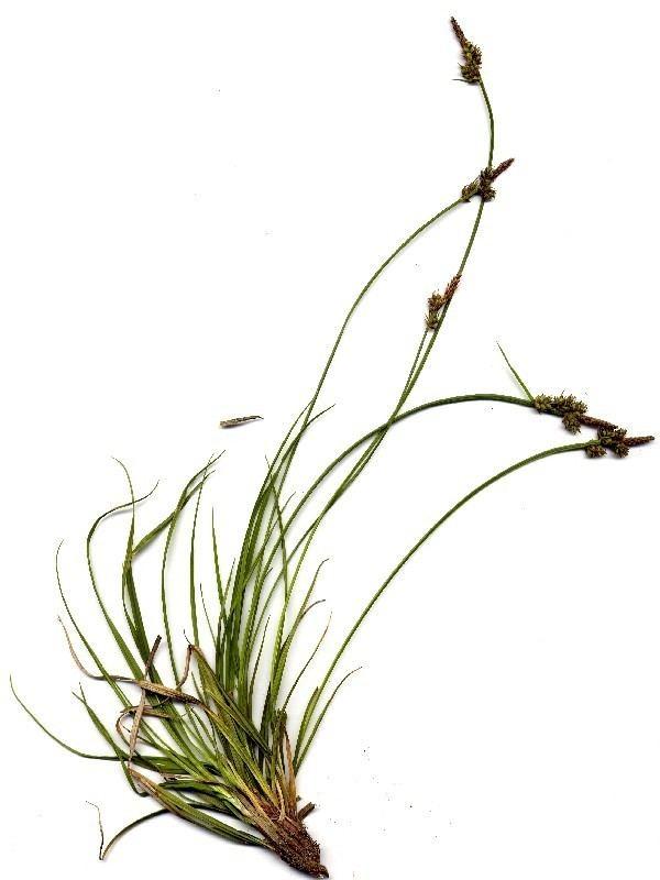 Carex pilulifera Carex pilulifera