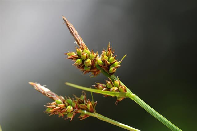 Carex pilulifera wwwbiopixcomphotosjcscarexpilulifera52995jpg