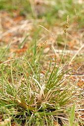 Carex pilulifera Carex pilulifera Wikipedia
