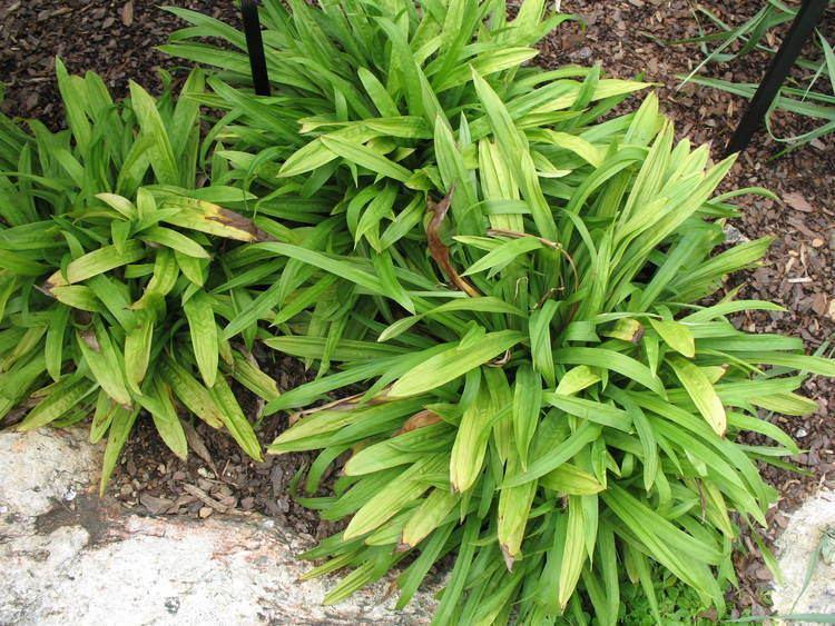 Carex plantaginea Online Plant Guide Carex plantaginea Plantain Leafed Sedge
