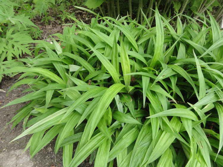 Carex plantaginea Carex Plantaginea Seersucker sedge Using Grass and Substitutes