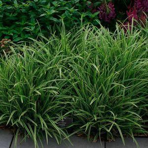 Carex plantaginea Carex plantaginea Fine Gardening