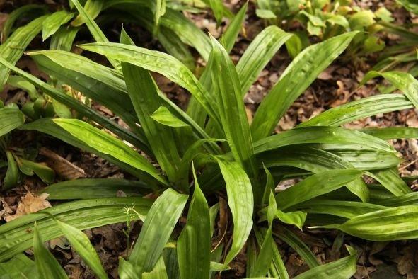 Carex plantaginea Carex plantaginea Hortipedia