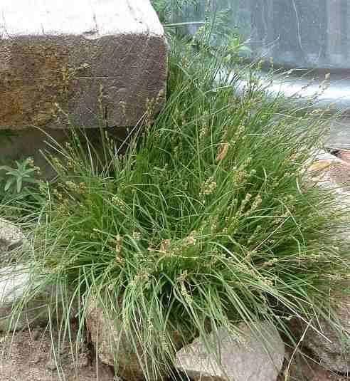 Carex praegracilis wwwlaspilitascomimagesgrid24242176simages