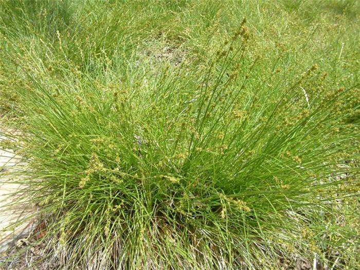 Carex praegracilis Carex praegracilis