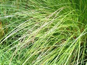 Carex secta Carex secta New Zealand Plant Conservation Network