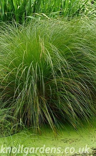 Carex secta Carex secta Knoll Gardens Ornamental Grasses and Flowering