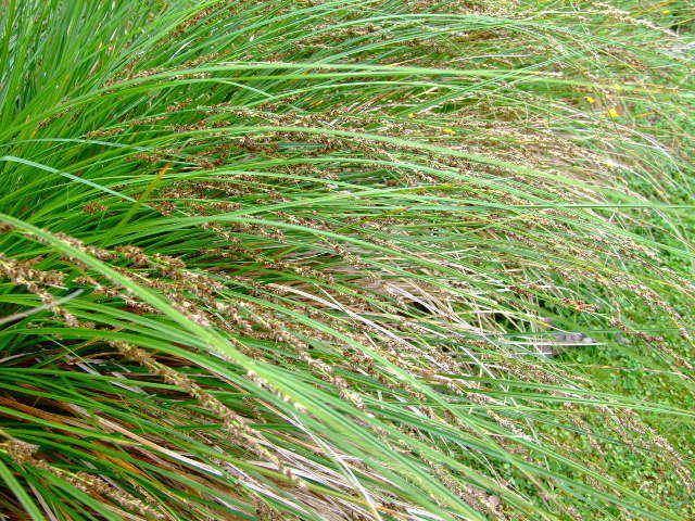 Carex secta Carex secta Purei The Native Plant Centre ltd