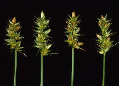 Carex spicata Carex spicata Michigan Flora
