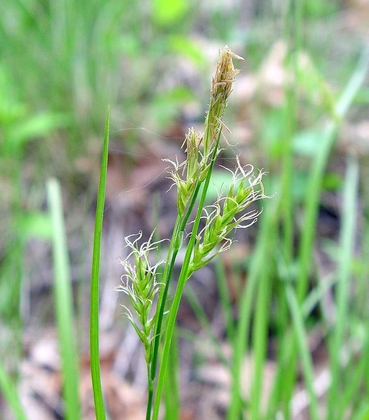 Carex sprengelii Carex sprengelii longbeaked sedge Go Botany