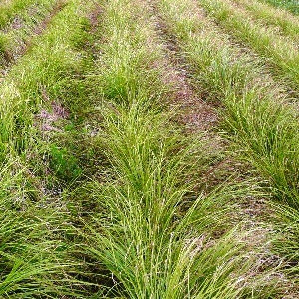 Carex sprengelii LongBeaked Sedge Carex sprengelii Plants