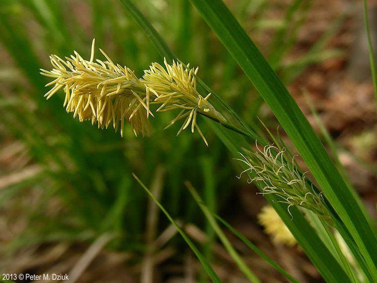 Carex sprengelii Carex sprengelii Sprengel39s Sedge Minnesota Wildflowers