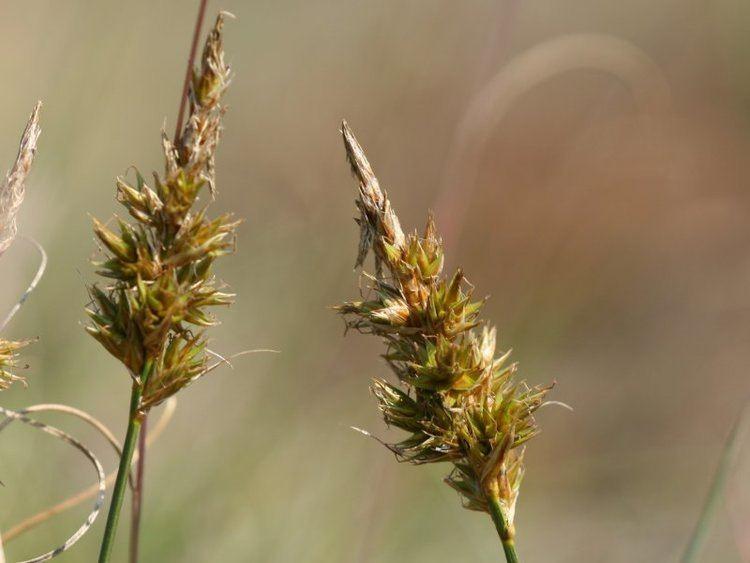 Carex subg. Vignea