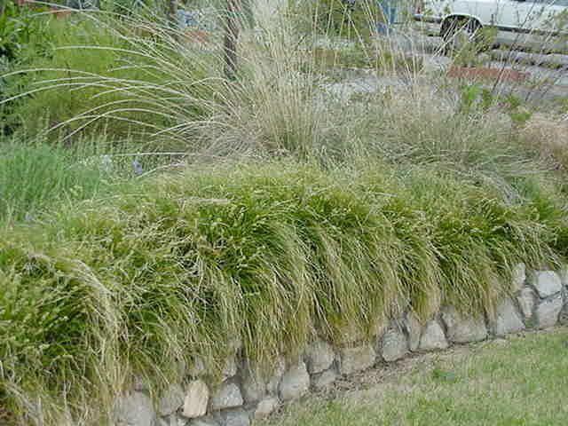 Carex tumulicola Carex tumulicola