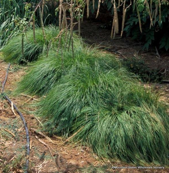 Carex tumulicola carextumulicolaver587jpg