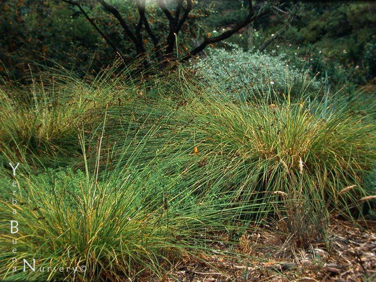 Carex tumulicola Carex tumulicola Yerba Buena Nursery Specializing in California
