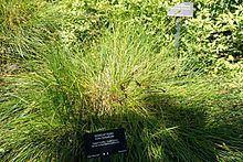 Carex tumulicola httpsuploadwikimediaorgwikipediacommonsthu