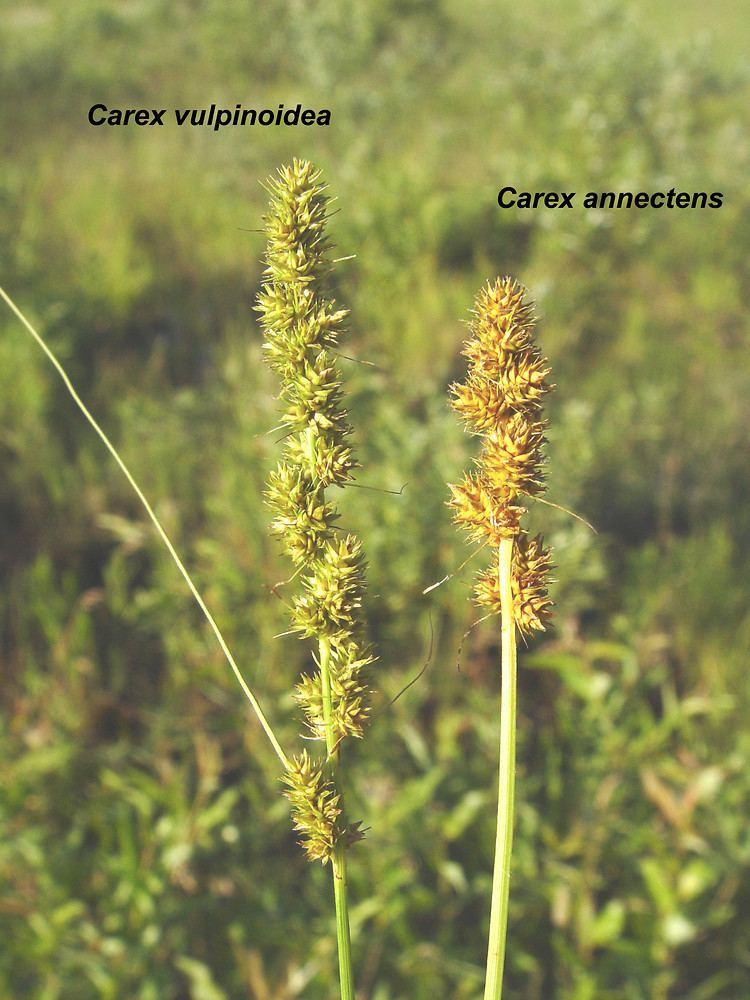 Carex vulpinoidea Carex vulpinoidea common fox sedge Go Botany