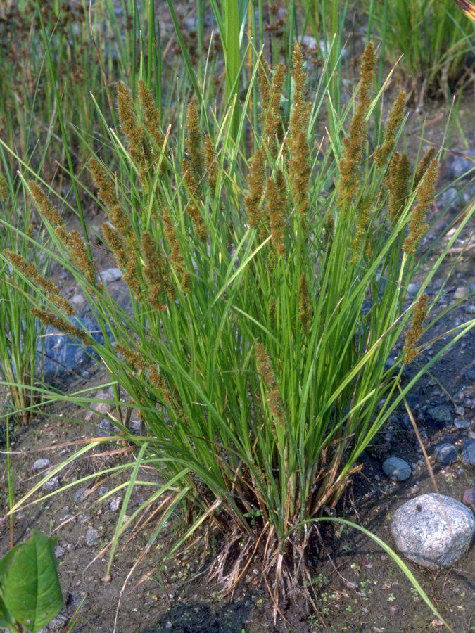 Carex vulpinoidea Plant Detail