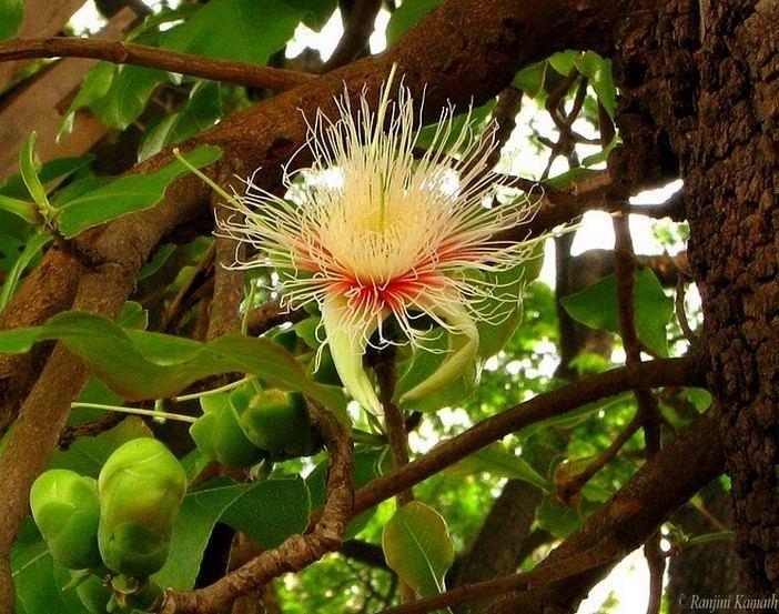 Careya wwwindianaturewatchnetimagesalbumphoto118211