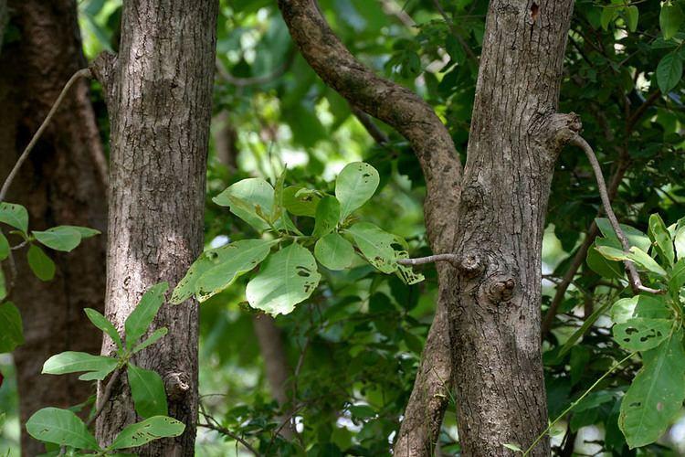 Careya arborea Careya arborea Roxb Checklist View