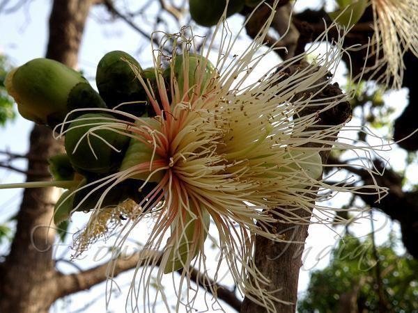 Careya arborea Careya arborea Wild Guava