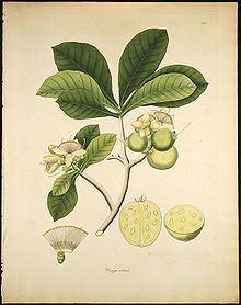 Careya arborea httpsuploadwikimediaorgwikipediacommonsthu
