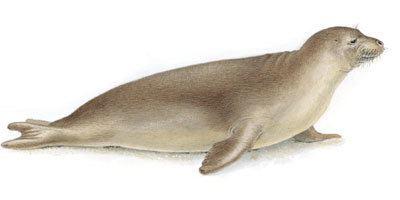 Caribbean monk seal Cryptomundo Extinct Caribbean Monk Seal