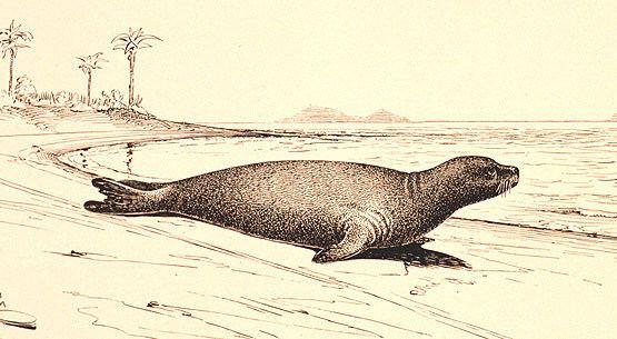 Caribbean monk seal Caribbean Monk Seal an Extinct Species