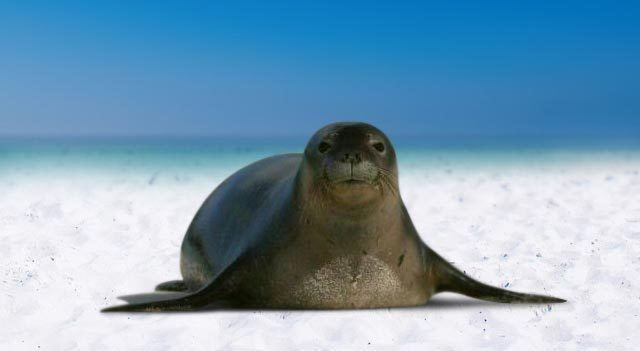 Caribbean monk seal Caribbean monk seal Facts Habitat Pictures and Diet Extinct Animals
