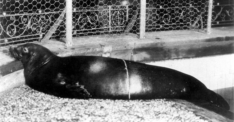 Caribbean monk seal httpsuploadwikimediaorgwikipediacommons22