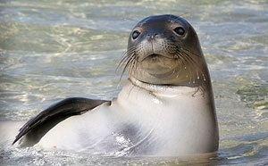 Caribbean monk seal Caribbean Monk Seal