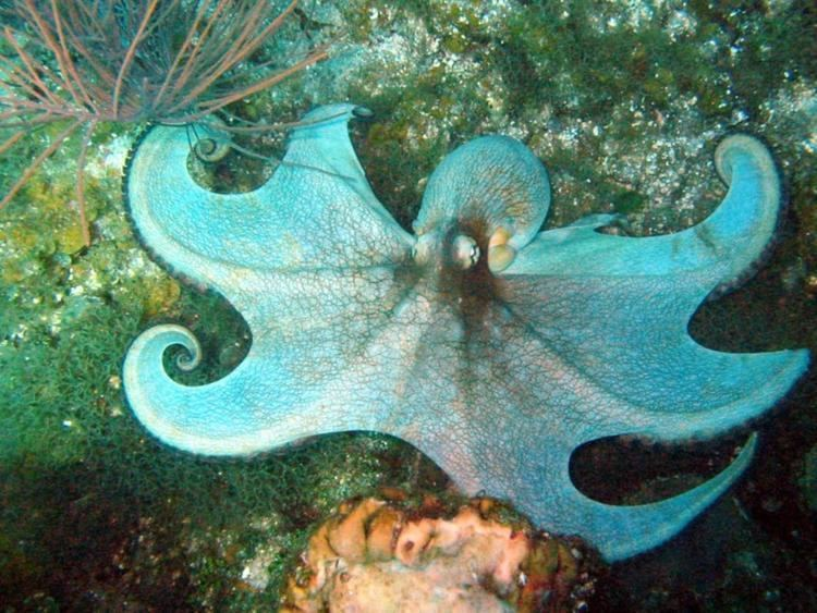 Caribbean reef octopus Caribbean Reef Octopus Information and Picture Sea Animals