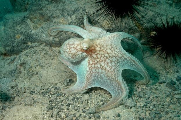 Caribbean reef octopus wwwoctopusworldscomwpcontentuploadsCaribbean