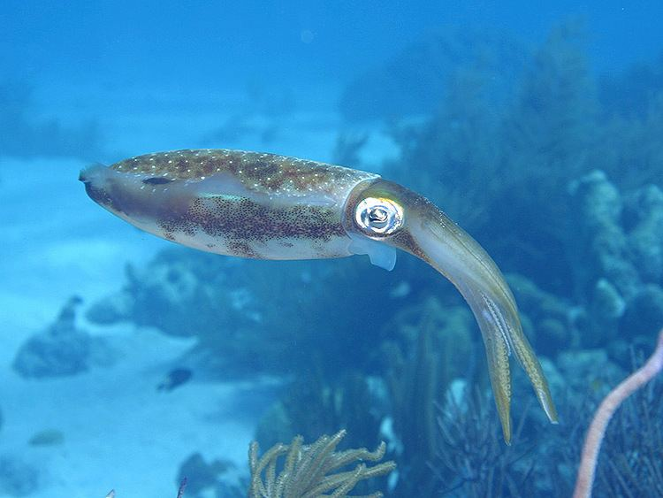 Caribbean reef squid wwwreefnewscomreefnewsnewsv06v06n06olblue12jpg