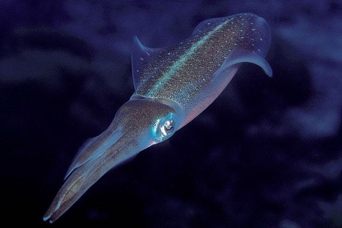 Caribbean reef squid Caribbean Reef Squid Sepioteuthis sepioidea
