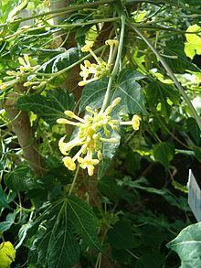 Carica jamaicensis httpsuploadwikimediaorgwikipediacommonsthu