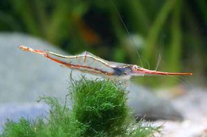 Caridina gracilirostris RED NOSE RHINO SHRIMP Caridina gracilirostris BEAUTIFUL 34cm eBay