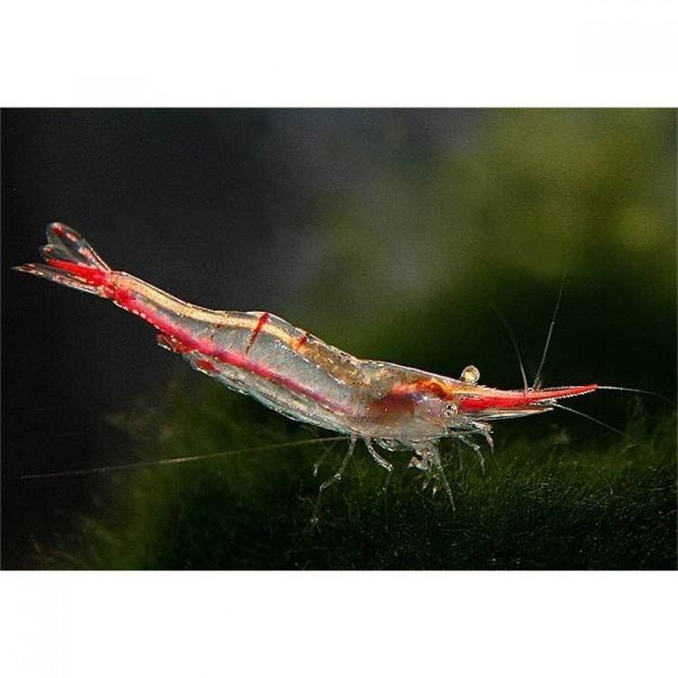 Caridina gracilirostris Shrimp Red Nose Shrimp Caridina gracilirostris Pinokkio by