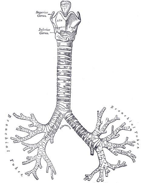 Carina of trachea