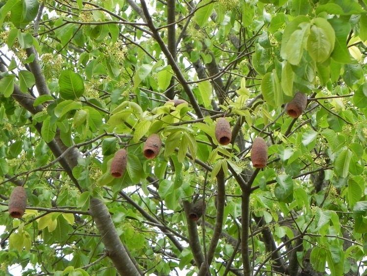 Cariniana Cariniana estrellensis Images Useful Tropical Plants