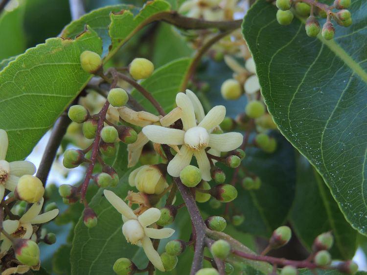 Cariniana Cariniana estrellensis Lecythidaceae image 45068 at