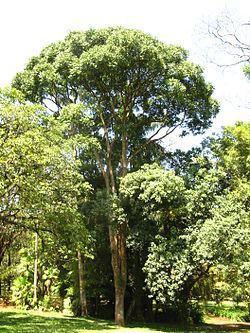 Cariniana pyriformis Cariniana Wikispecies