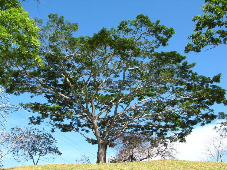 Cariniana pyriformis Cariniana pyriformis Useful Tropical Plants