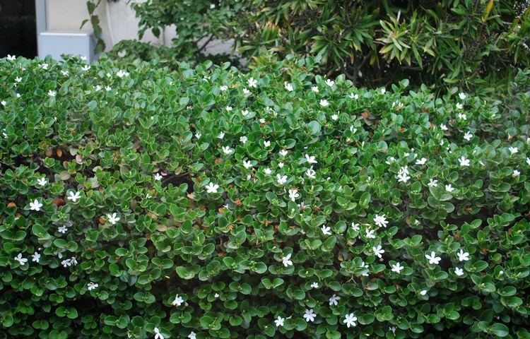 Carissa macrocarpa Carissa macrocarpa Images Useful Tropical Plants