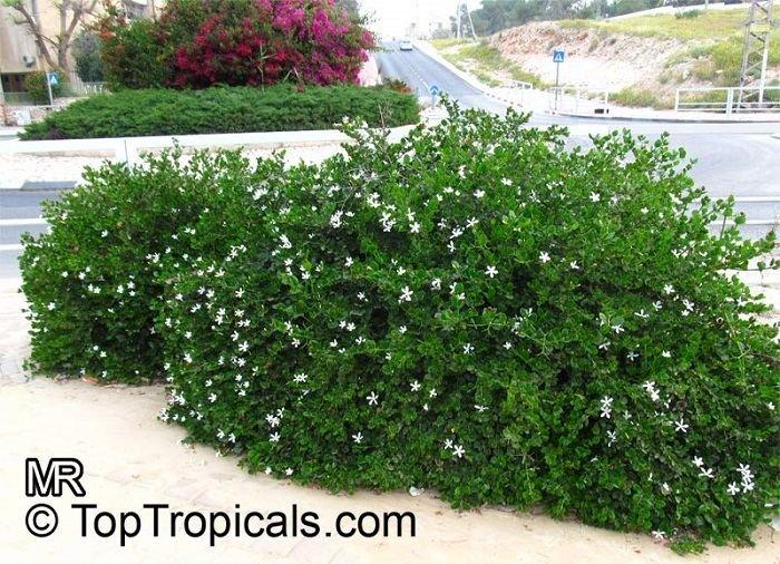 Carissa macrocarpa Carissa Natal Plum Carissa grandiflora